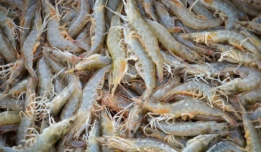 New record by Harvesting 400 tons shrimp