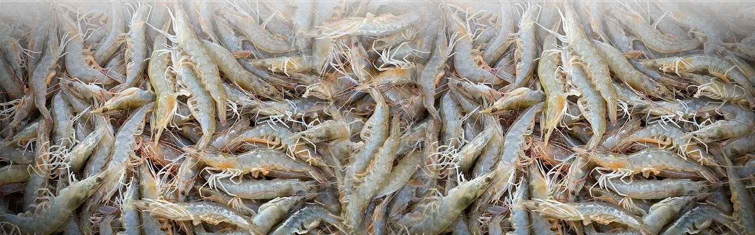 Harvest More than 290Tons Shrimp from Gomishan Shrimp Farms
